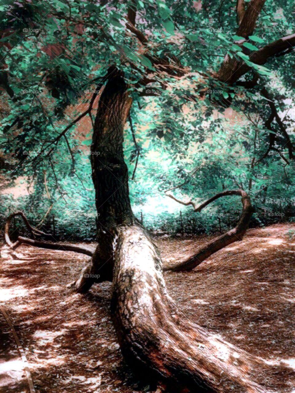 Oak Tree - Naturalist Walk , Central Park, New York City.