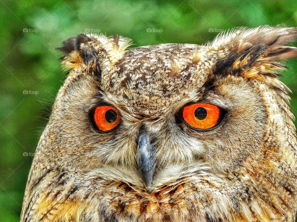 Piercing Gaze of a Great Owl