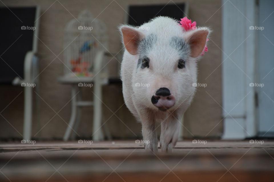 Strolling Piggy