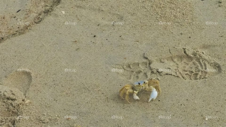 creeping beach crab