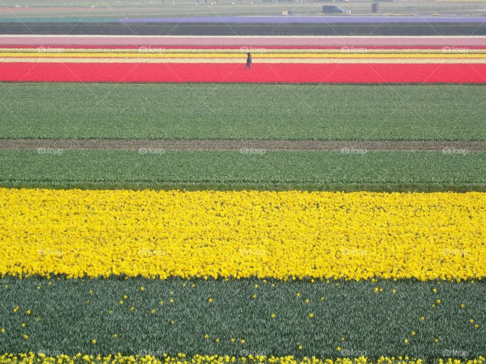 Tiptoe Through The Tulip Fields