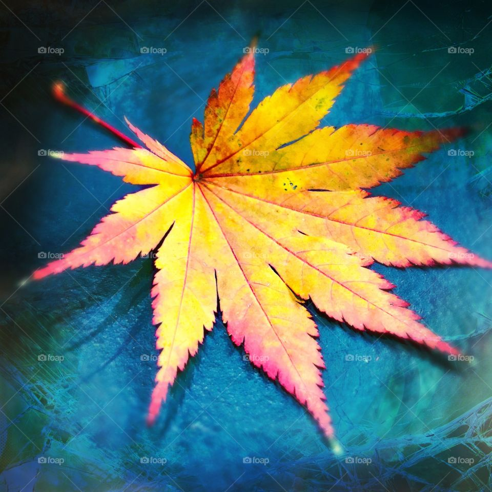Leaf, No Person, Fall, Nature, Maple