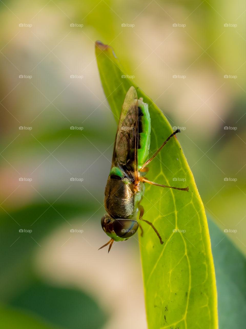 Green soldier fly ( Odontomyia virgo )