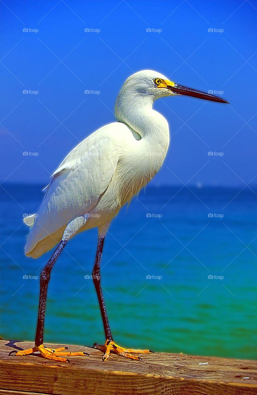Snowy Egret portrait.