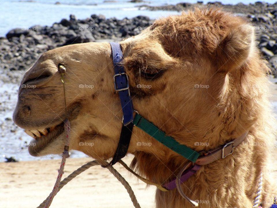 Happy camel at beach