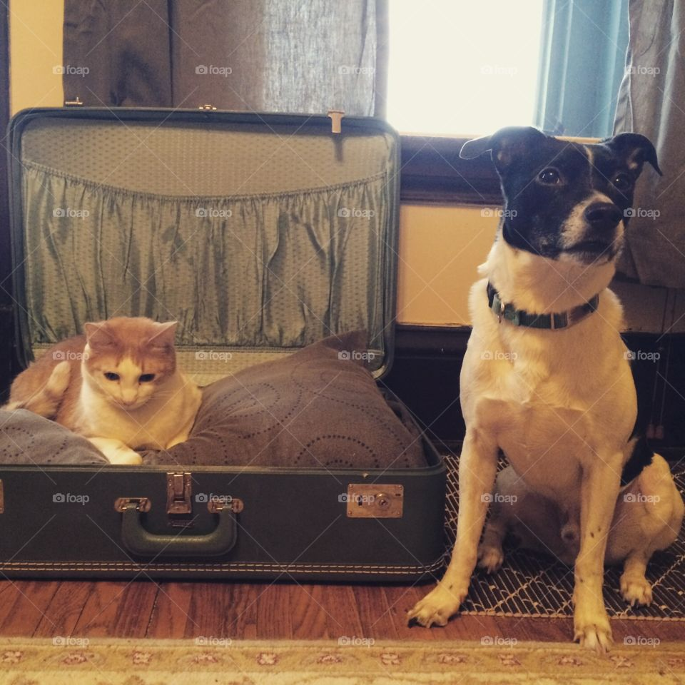 No room for you! . Orange tabby cat refuses to share his upcycled vintage suitcase bed with his dog brother