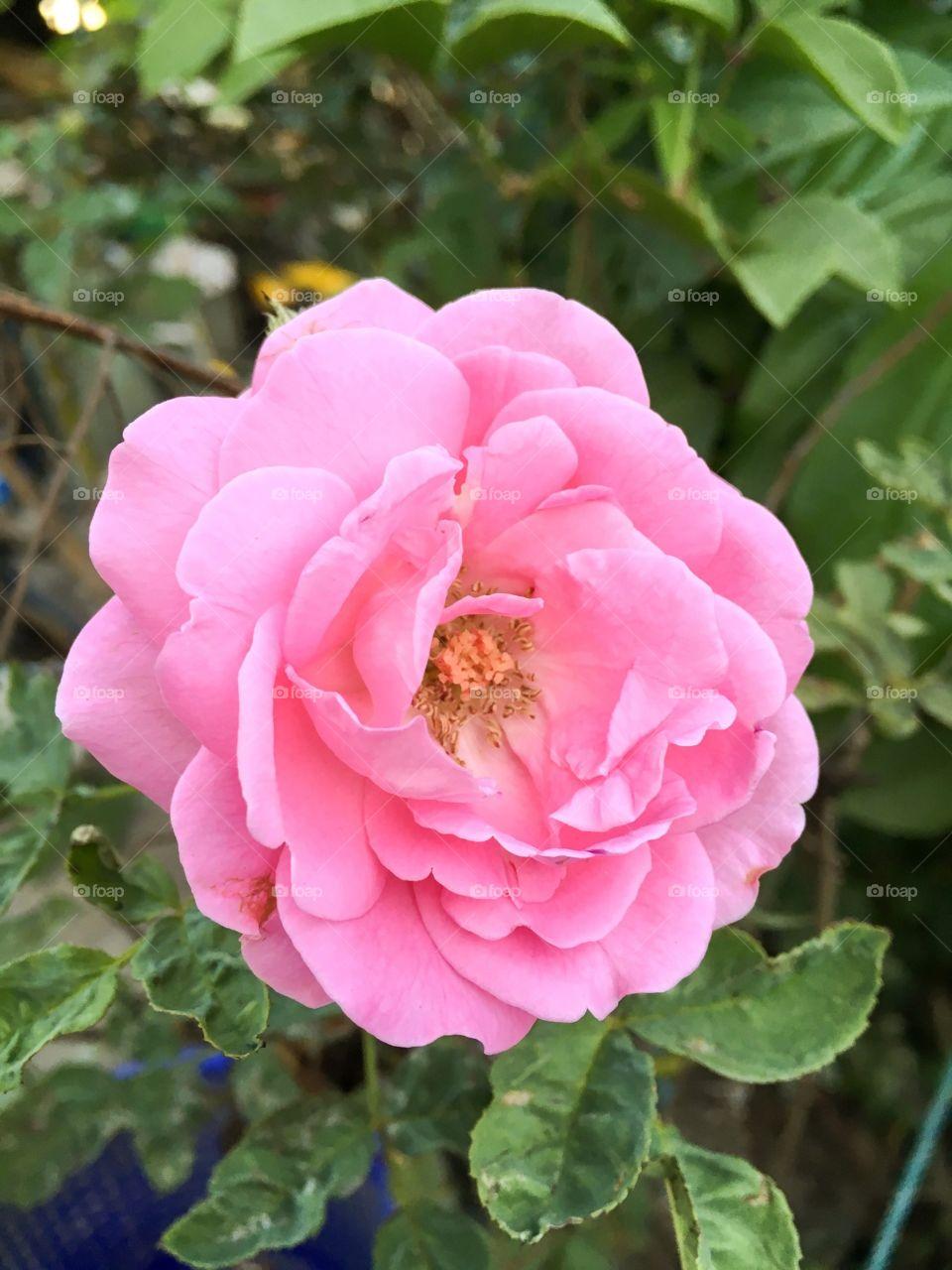 Pink rose flower in nature garden