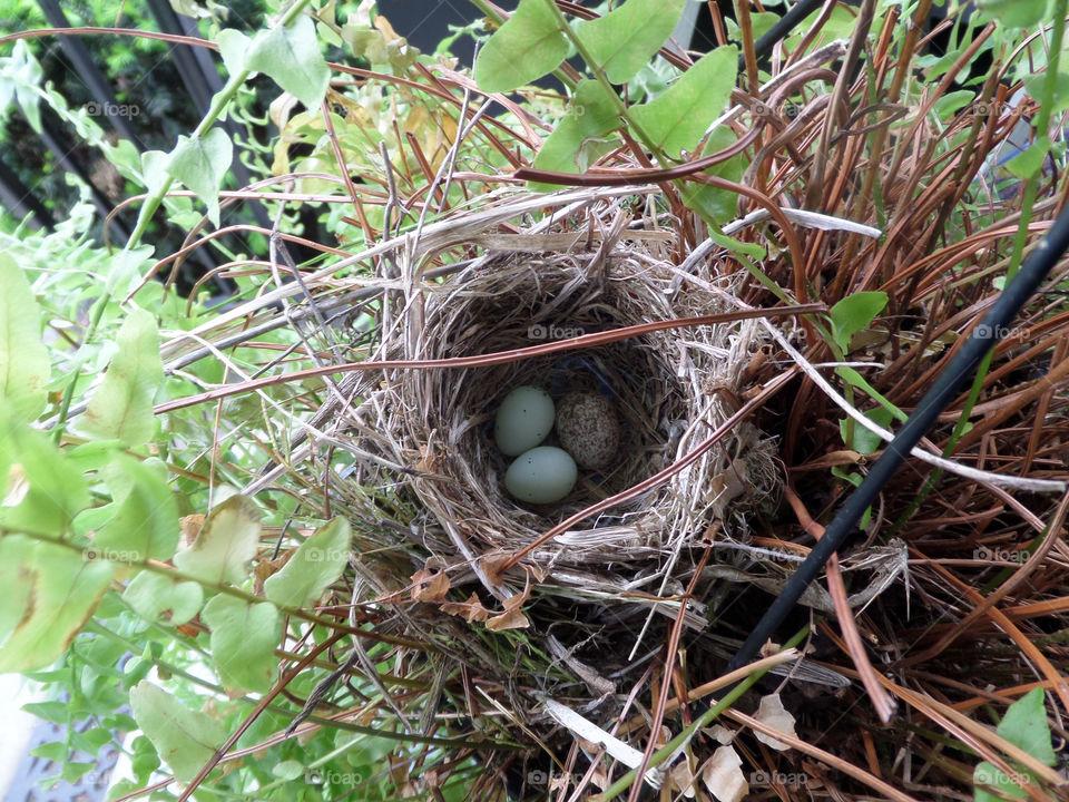 Cowbird egg in robin nest