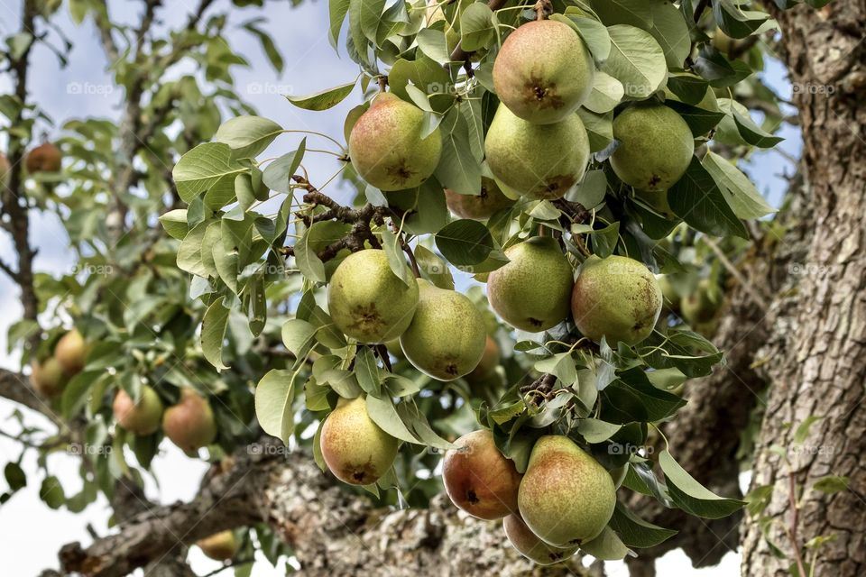 Ripen pears hanging from pear tree branches