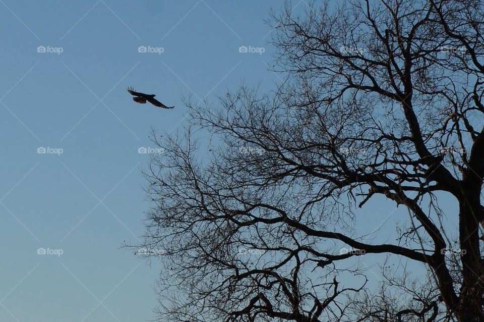 Hawk in flight at dusk. Photo taken in Oklahoma.  Hawk flying to a tree.