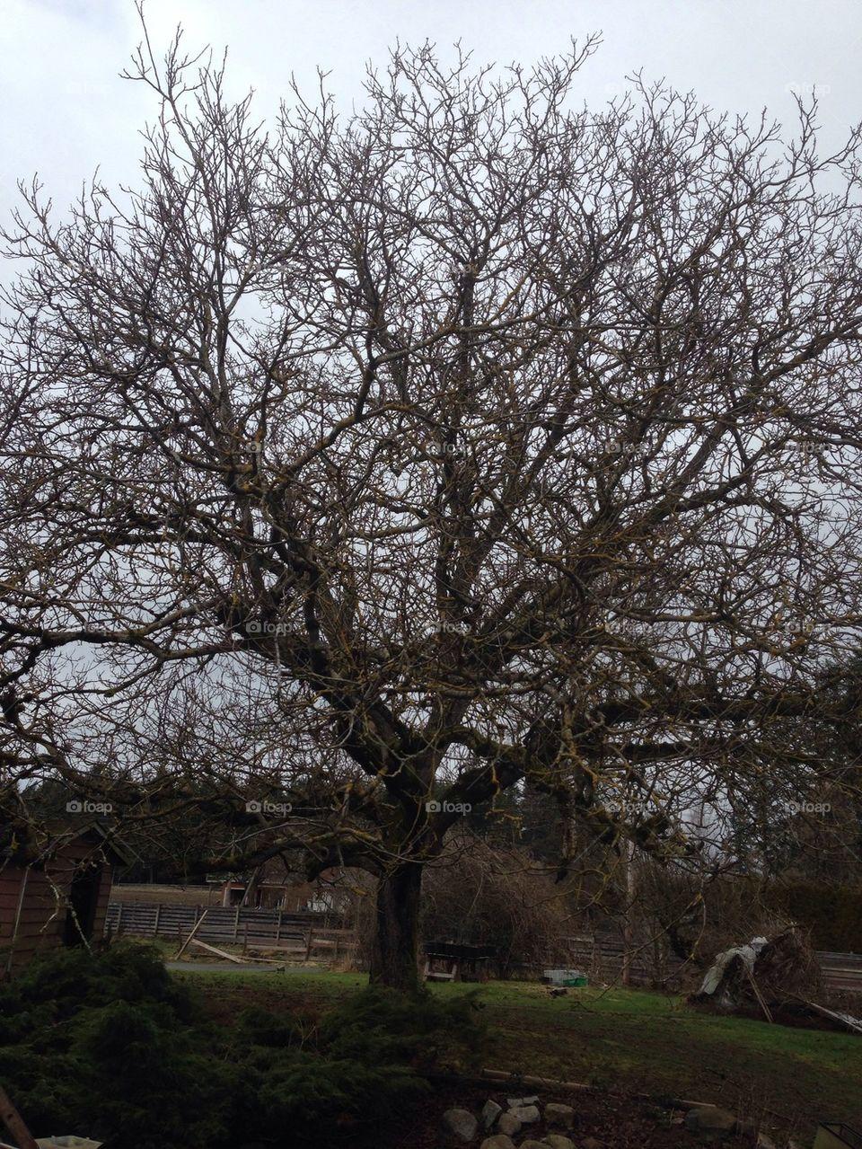 Foap com: Walnut tree stock photo by vividd