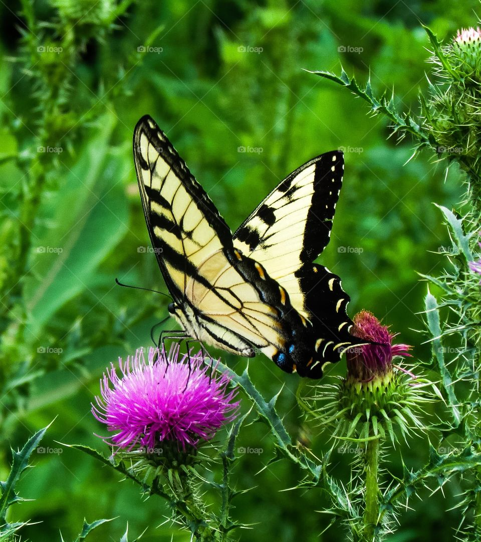 Butterfly on thistle flower