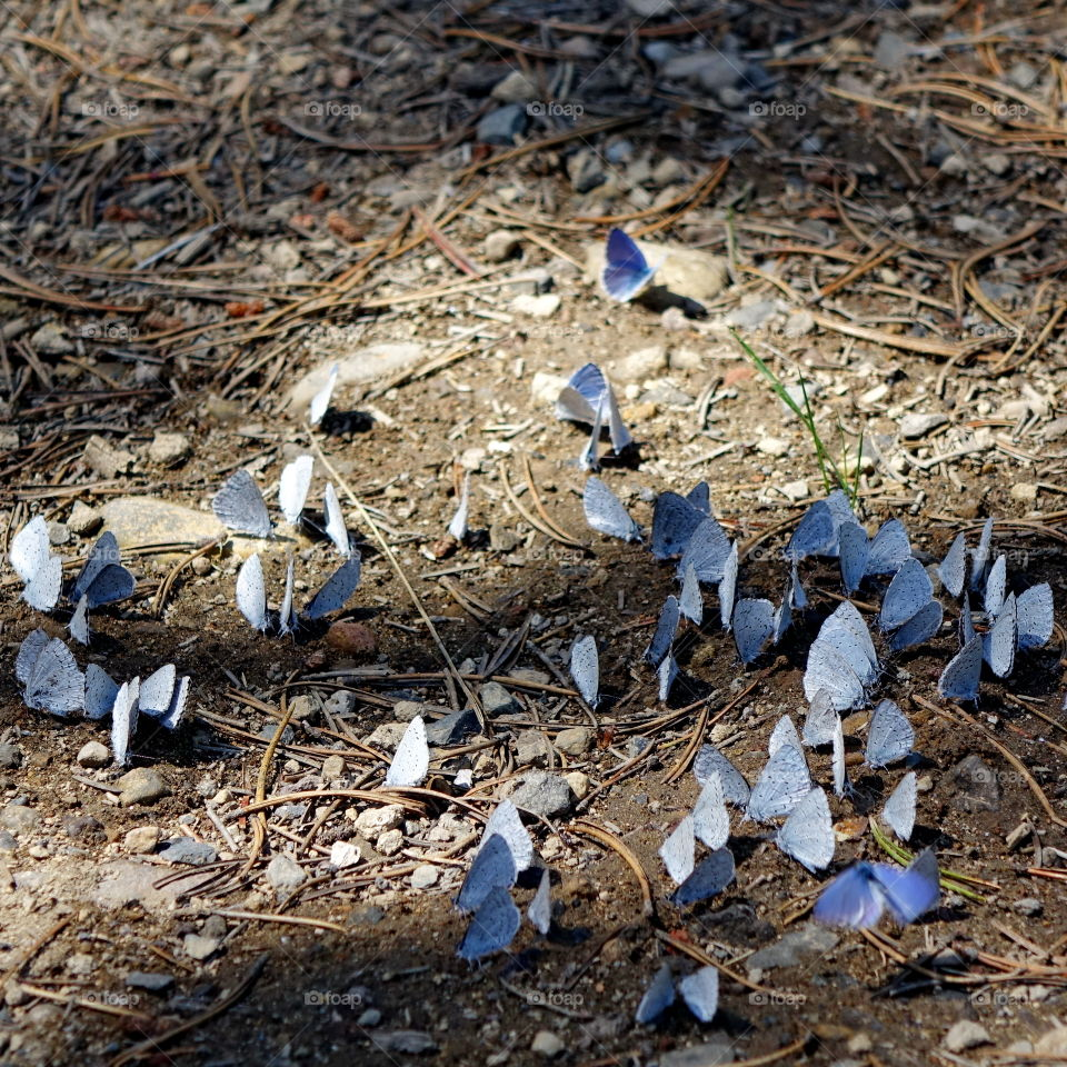 A spring hatch of purple butterflies covers the ground up in the Cascade Mountains of Oregon.