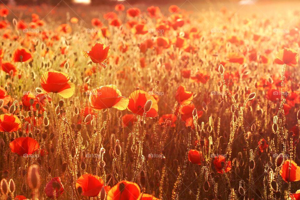 Full frame of poppy flowers