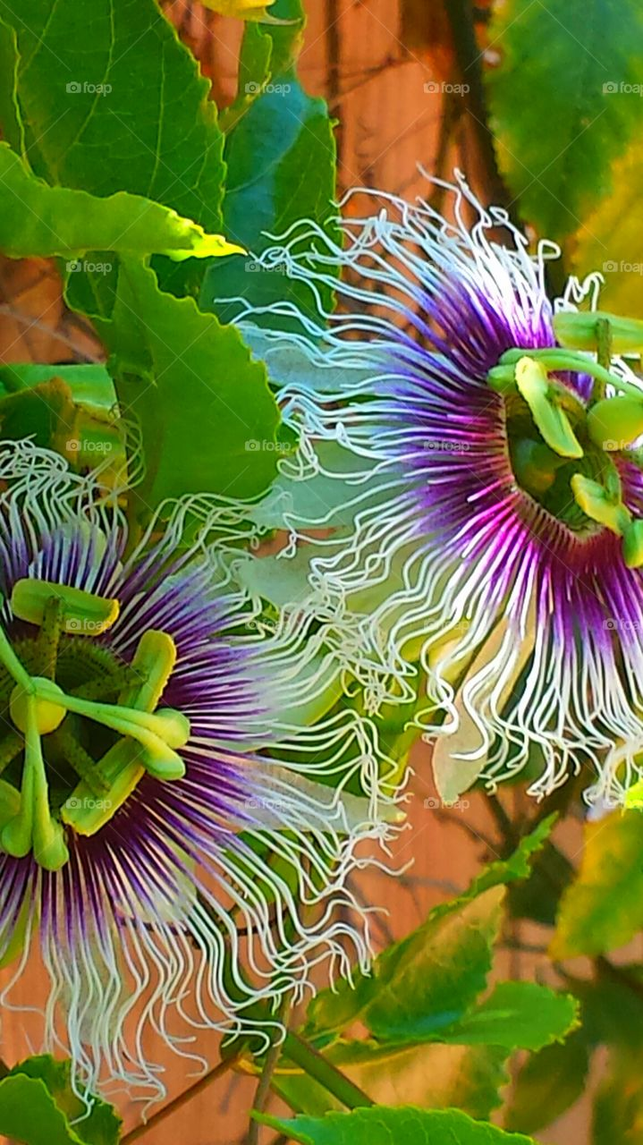 """""""Twin Passion Flowers """". It is said that the components of the passion flower tells the story of the crucifixion of Jesus Christ."""