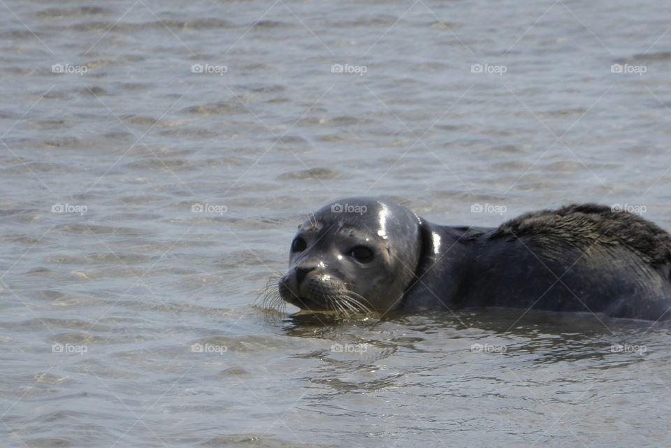Wild Sea Seal Wadden Sea St. Peter Ording Germany