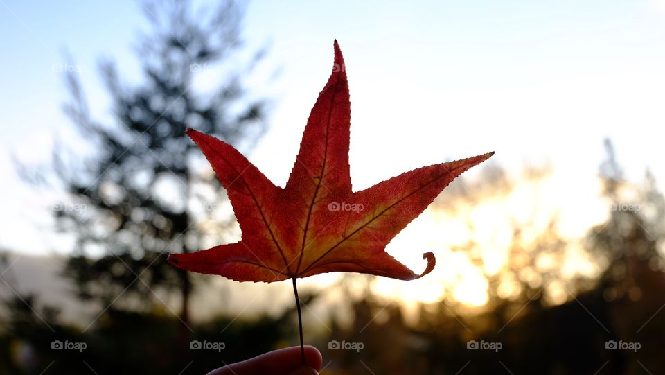 Holding a red maple leaf. Autumn is here.