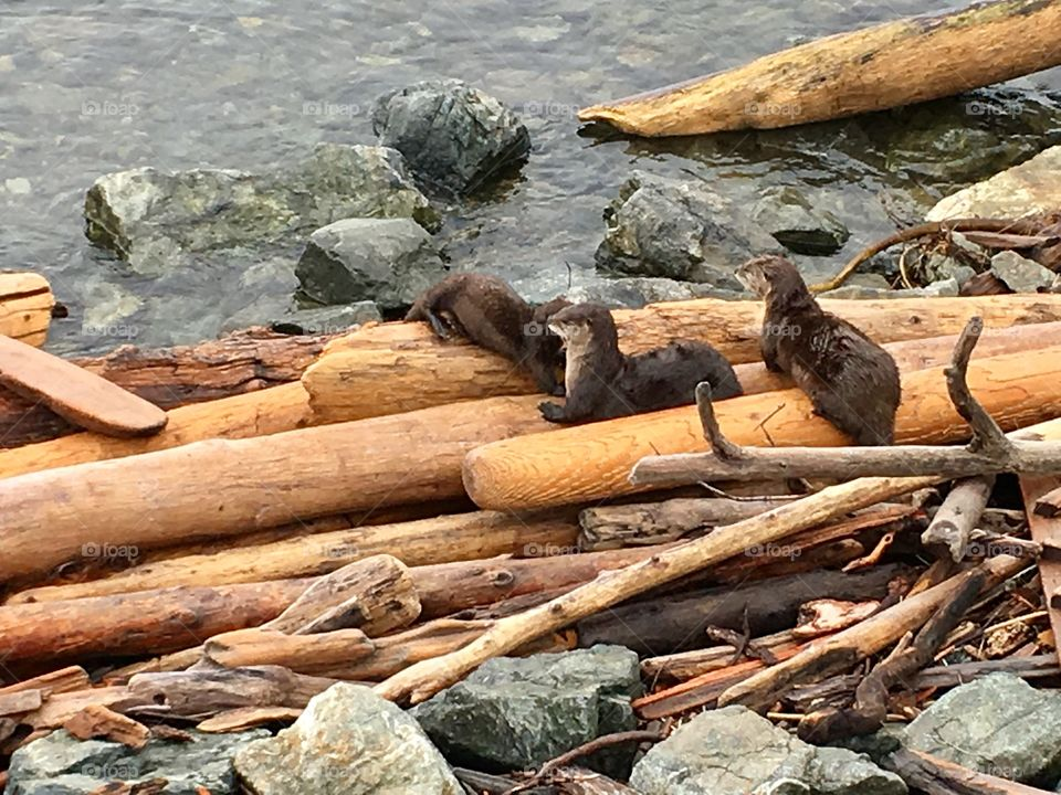 Family of otters resting on the logs by the  ocean side path