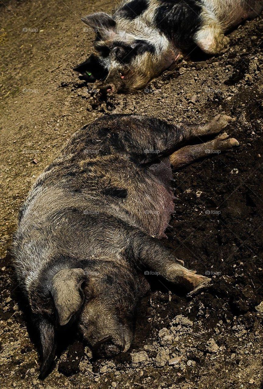 Sleeping pigs in mud