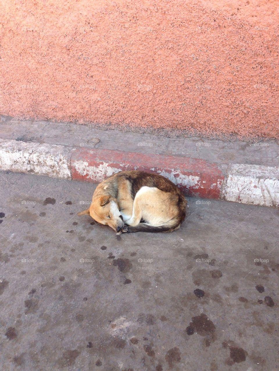 Medina dog