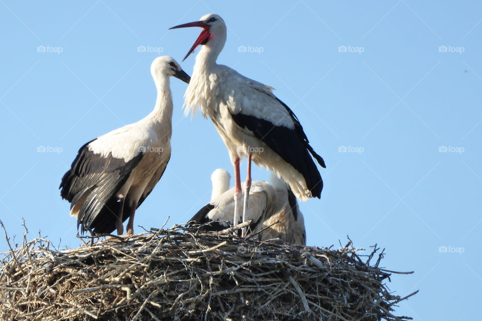 Stork nest two young storks and one parent