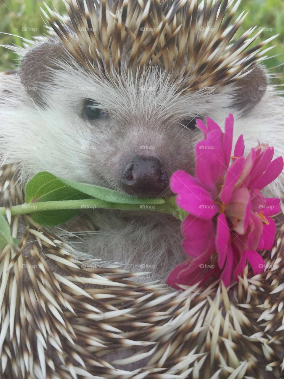 hedgie friends