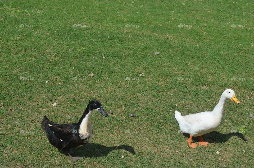 Duck in a field near a pond