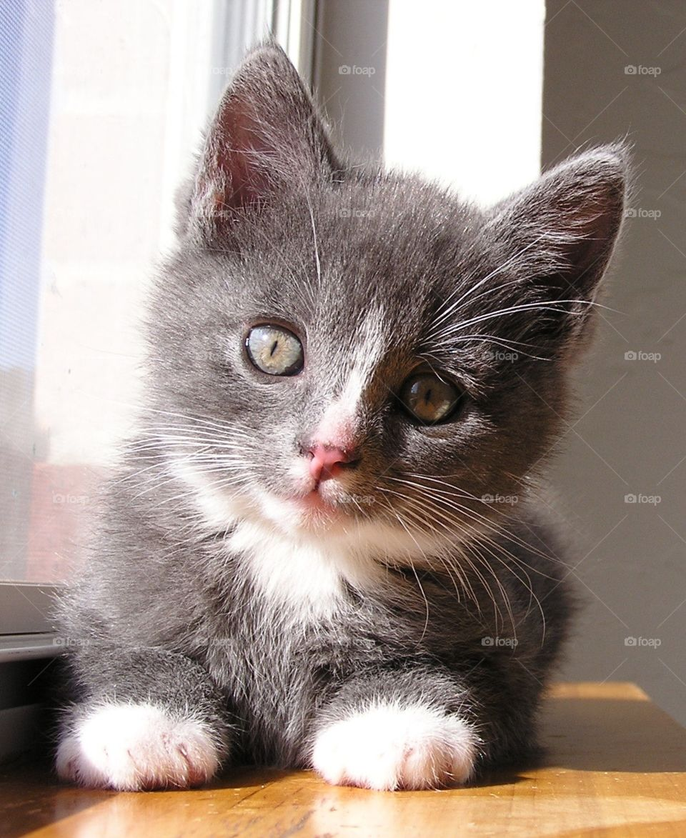 Gray and White Kitten. Sunny window for nap.