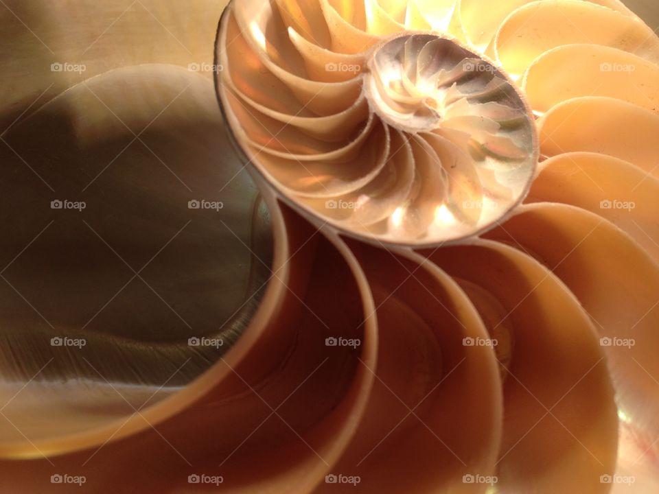 Nautilus shell cross section spiral symmetry pompilius seashell Fibonacci sequence
