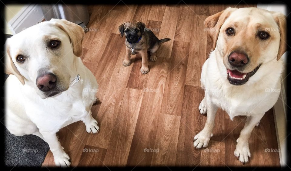 Big dog, little dog . My border terrier pup siting between my two yellow Labradors waiting for food!