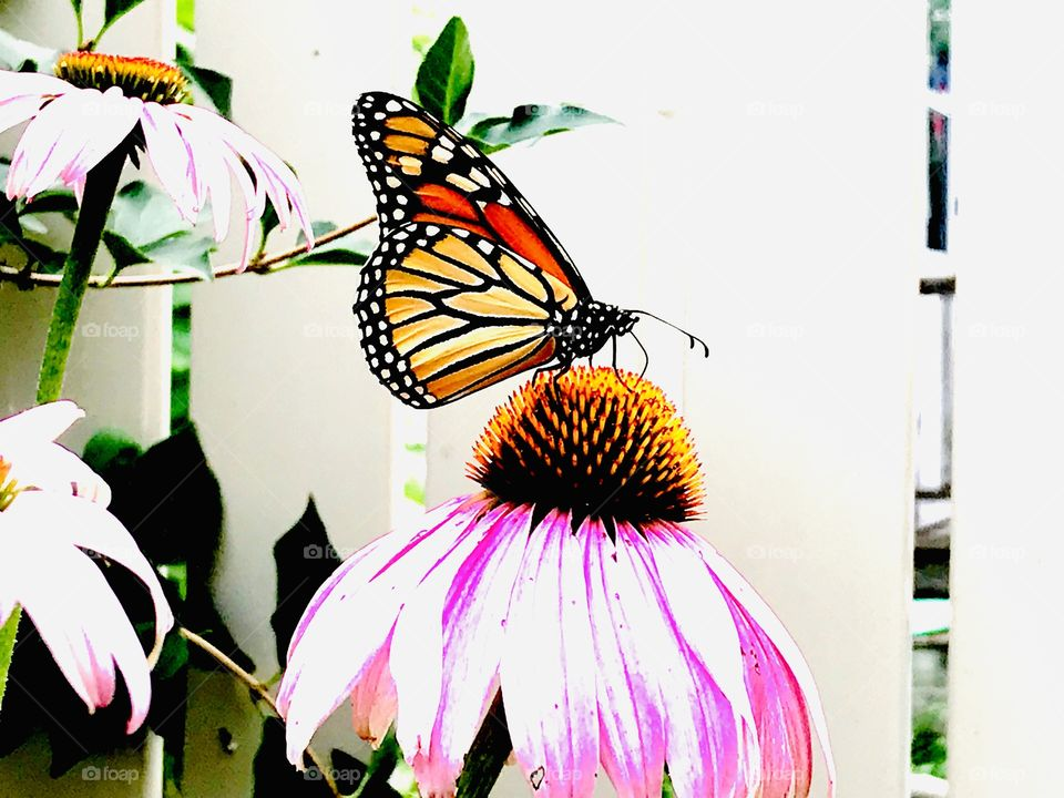 Gorgeous monarch butterfly perched atop a bright pink flower looks stunning against stark white fence in background.
