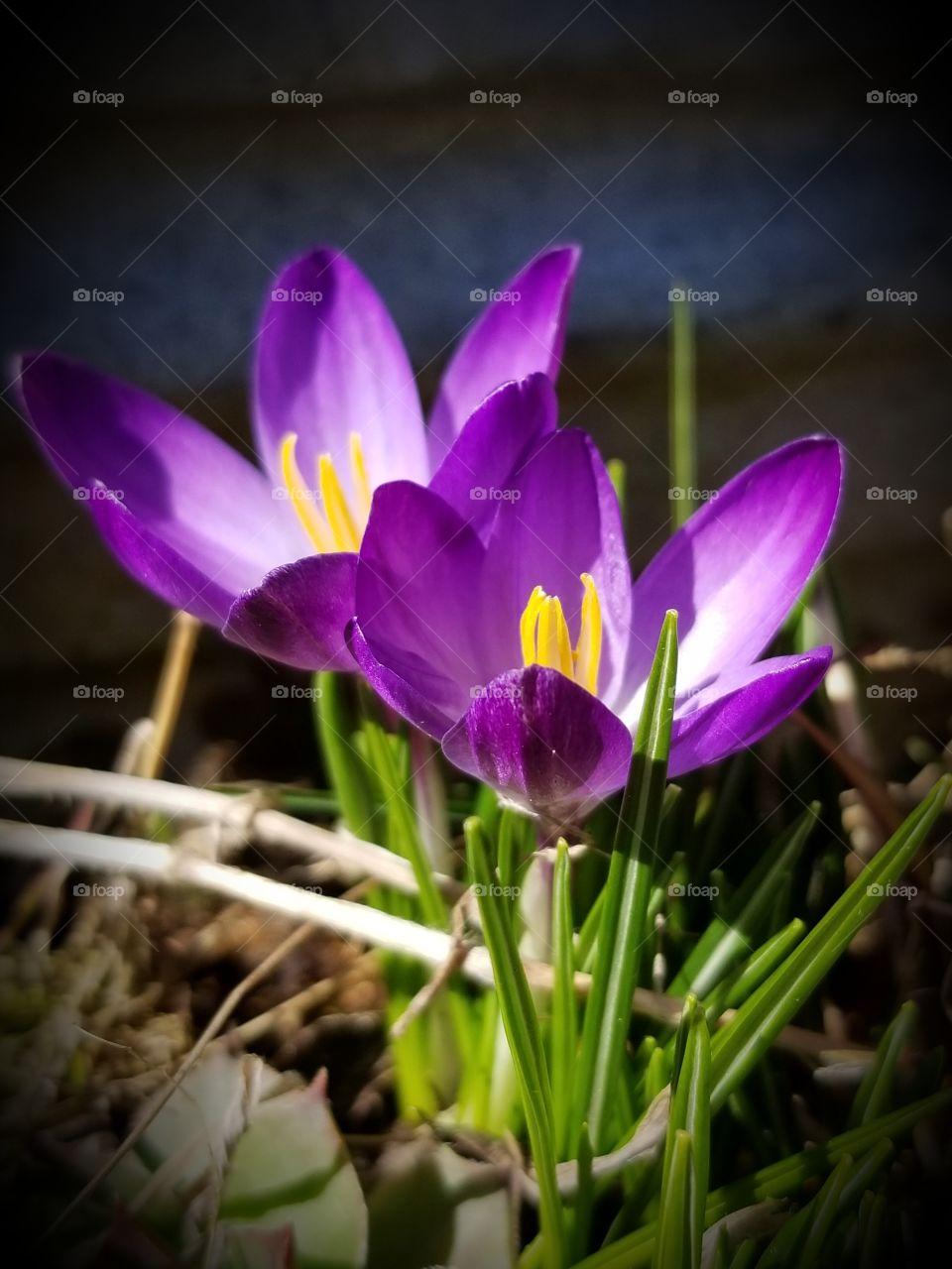 Spring Crocus blooming