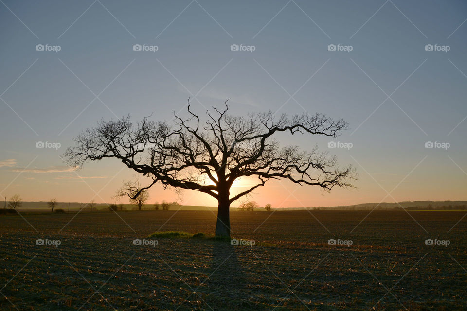 Lone tree in sunset. The sun sets behind this wonderful lone tree in the English countryside