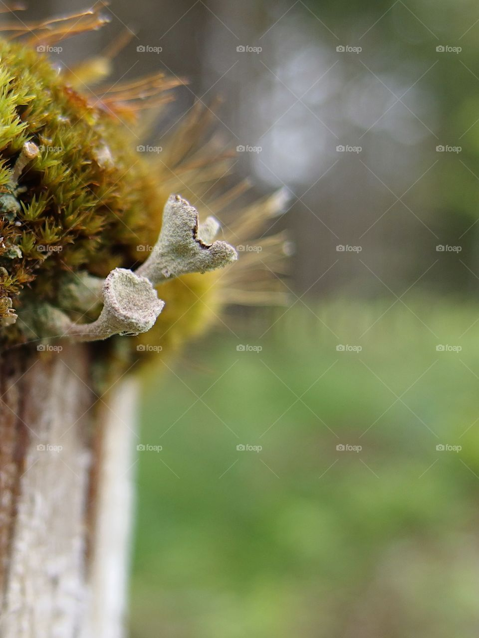 A old wooden fence post covered with a thick layer of moss and fungus shoots for a barrier between a farm and the forest in rural Western Oregon on a spring day.
