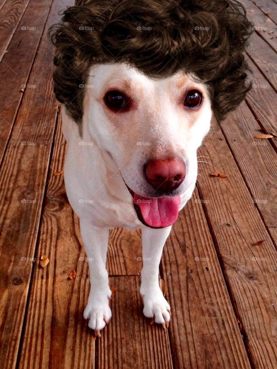 funny curly wig labrador dog by sunnysmiles