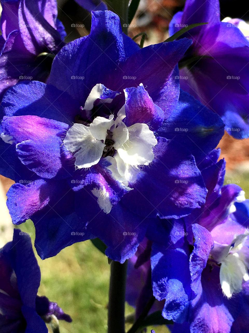 purple and blue Delphiniums sparkle in the sun