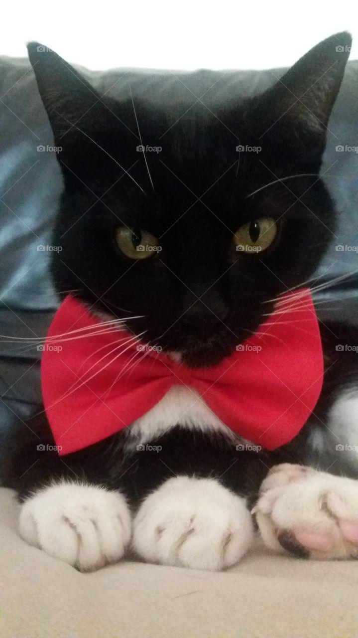 Tuxedo cat posing with bowtie.