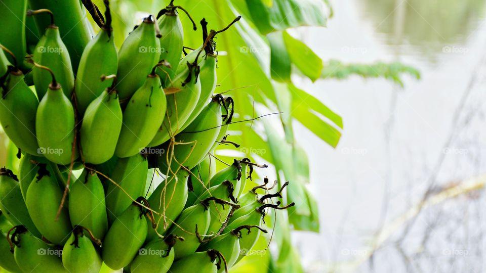 Green banana on the tree in the backyard