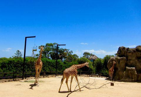 Giraffes at Taronga Zoo. Sydney, Australia