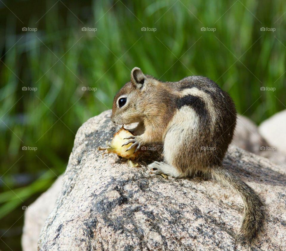 Wild chipmunk in the Rocky Mountains