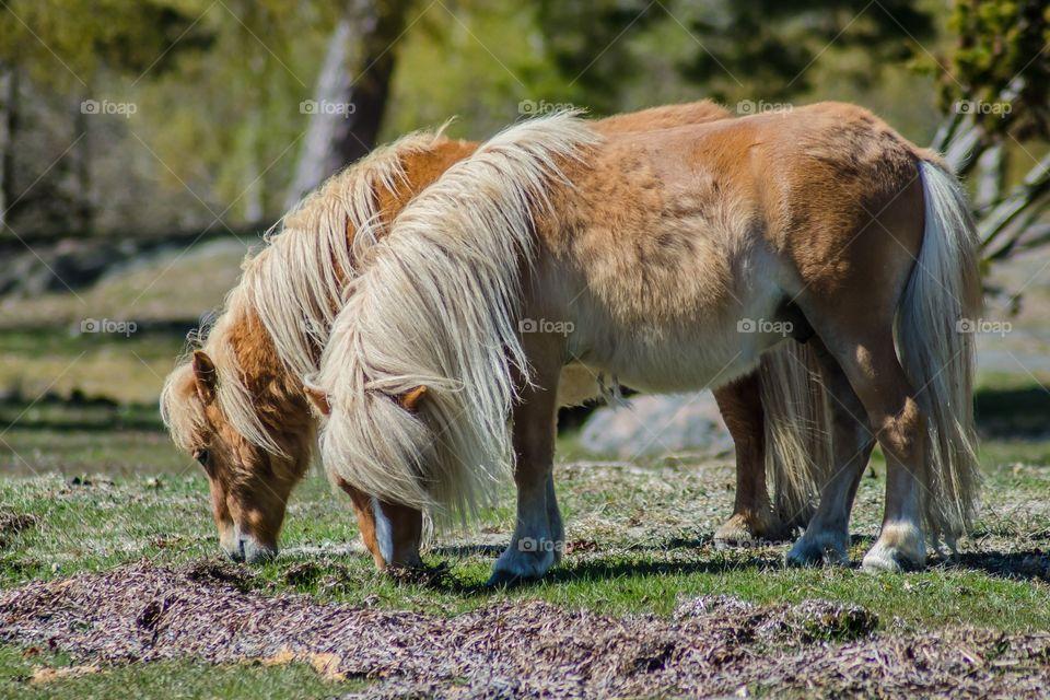 Shetland ponies playing together