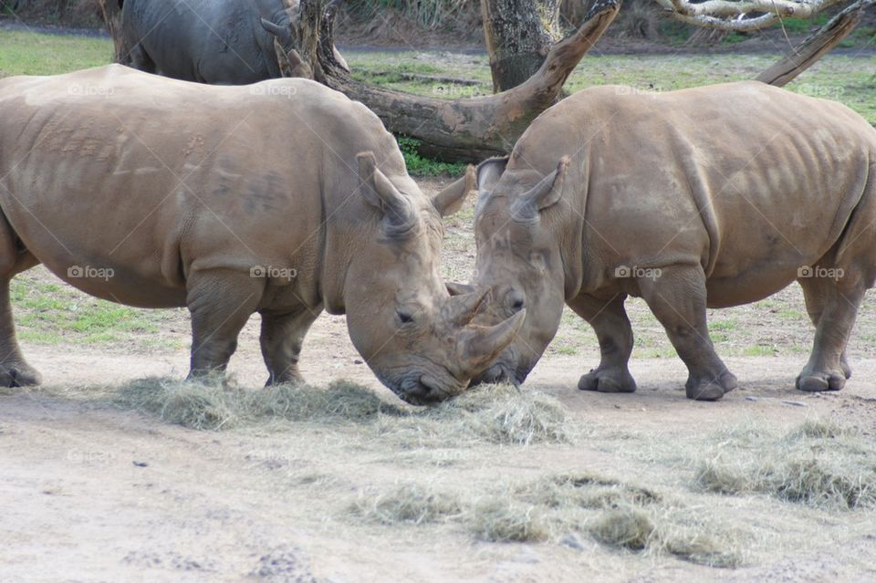 Two rhinos face to face