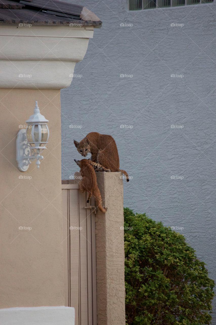 Bobcats in my neighborhood