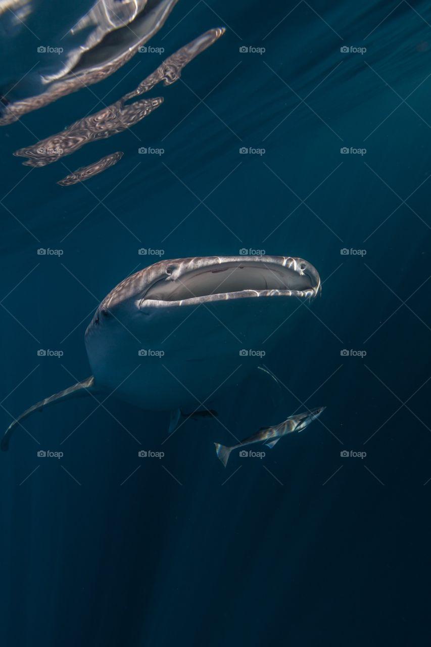 Ascending whale shark
