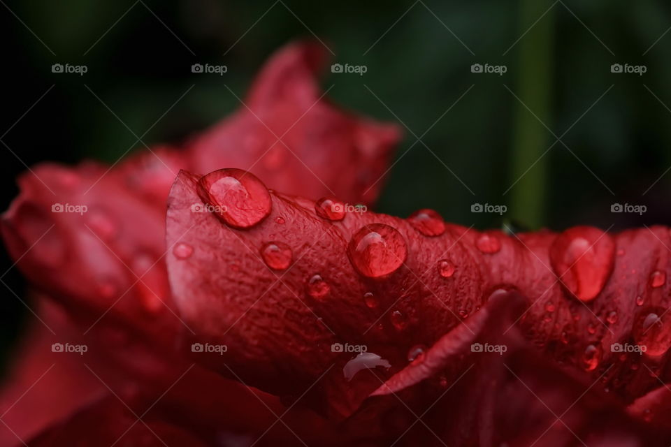 Water droplets on a red flower close up