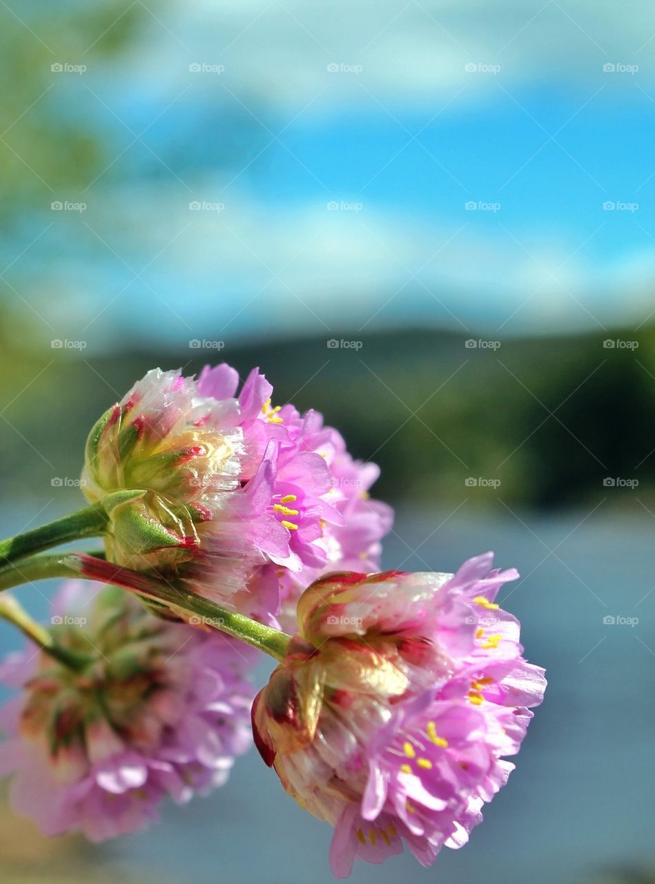 Extreme close-up of onion flower
