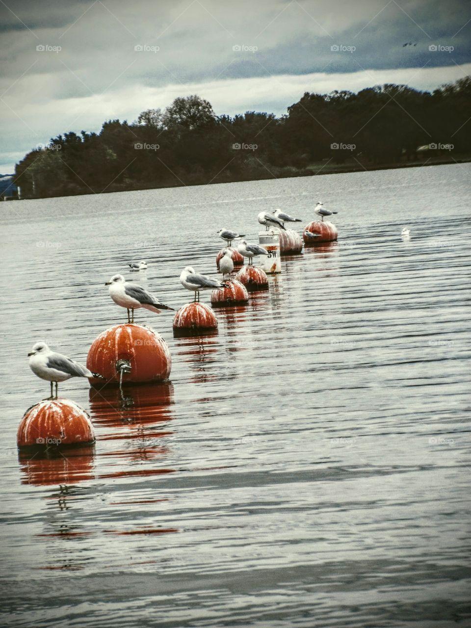 Seagols on a Lake