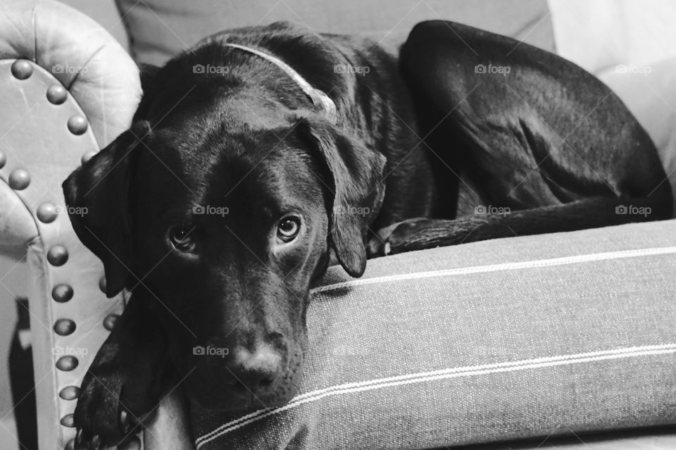 Black dog relaxing on armchair