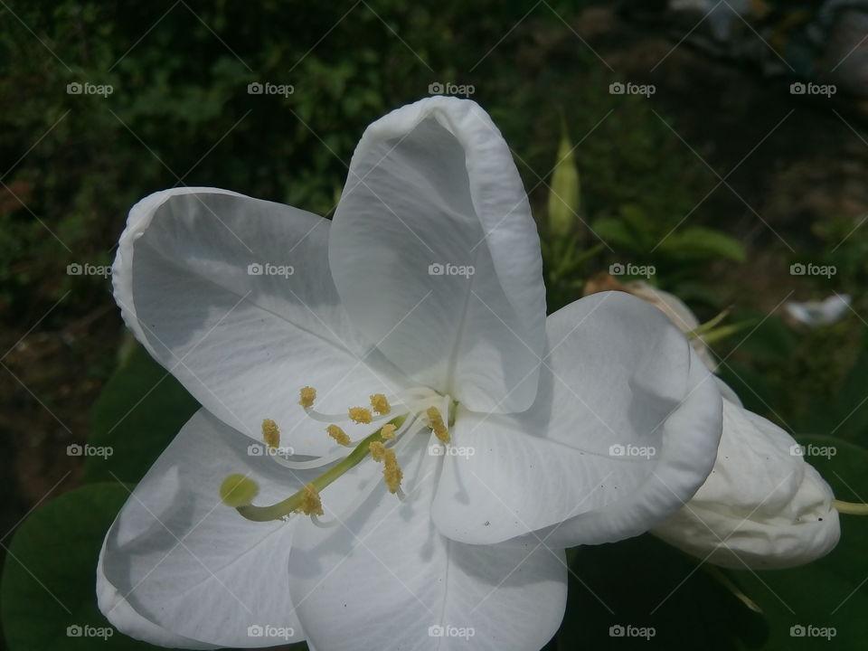 flower 2017/09/28  006  #আমার_চোখে #আমার_গ্রাম #nature #flower #eukaryota #plantae #angiosperms #eudicots