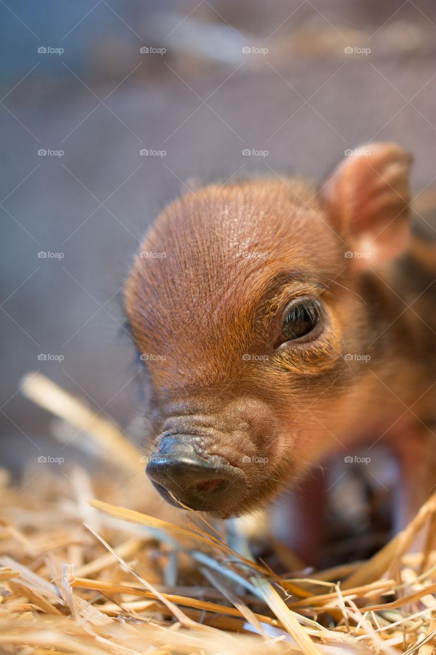 Close-up of a piglet